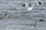 Ring-billed Gull and Double-crested Cormorants feeding