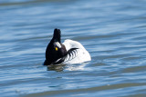 Common Goldeneye, courtship display