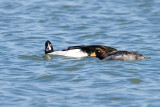 Barrow's Goldeneyes preparing to mate