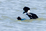 Barrow's Goldeneyes mating 1