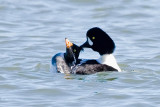 Barrow's Goldeneyes mating 4