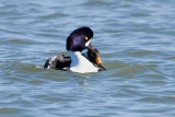 Barrow's Goldeneyes mating 3