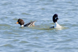 Barrow's Goldeneyes splitting after mating