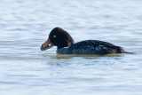 Barrow's Goldeneye, female with clam