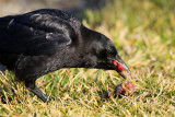 American Crow with bone