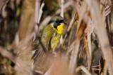 Wet Common Yellowthroat