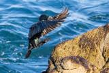 Brandt's Cormorant landing