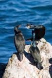 Brandt's Cormorants, breeding plumage
