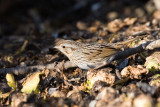 Lincoln's Sparrow on brussels sprouts