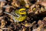 Townsend's Warbler on brussels sprouts