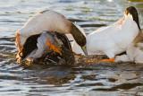 Stack of ducks