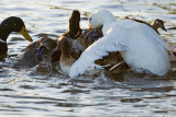 Stack of ducks watched by Wood Duck