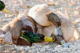 Duck pinned on ground