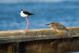 Black-necked Stilt and Green Heron