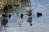 Common Moorhens, 2 adults and 3 chicks