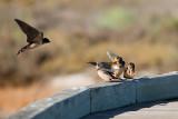Barn Swallows anticipating feeding