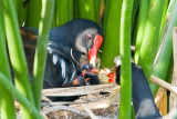 Moorhens in Sunnyvale, August 2007