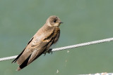 Northern Rough-winged Swallow, juvenile