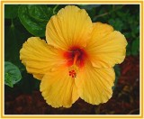 Orange hibiscus.jpg