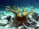 coral cuerno de alce