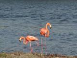los flamingos