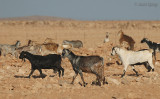 Goats at the stony dessert