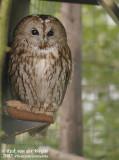 Tawny Owl  (Bosuil)