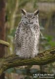 Canadese Oehoe / Northwestern Horned Owl