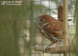Braziliaanse Dwerguil / Ferruginous Pygmy Owl