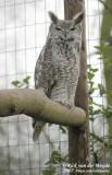 Great Horned Owl  (Amerikaanse Oehoe)