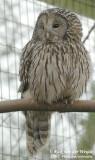 Oeraluil / Ural Owl