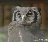 Grijze Oehoe / Verreaux's Eagle-Owl
