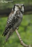 Northern Hawk Owl  (Sperweruil)