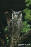 Northern White-Faced Owl  (Noordelijke Witwangdwergooruil)