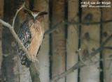 Maleise Visuil / Malaysian Fish Owl