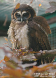 Maleise Bosuil / Spotted Wood Owl
