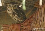 Little Owl  (Steenuil)