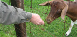 goat feeding time