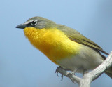 Warblers and Vireos