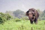 Elephant, Minneriya NP