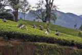 Tea near Nuwara Eliya