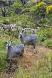 Samos Goats