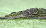 Alligator watching Flies Mate