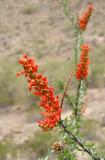 Ocotillo Blossom #1