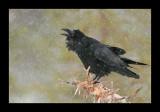Raven - Kolkrabe - Corvus corax
