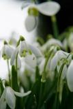 Snowdrops in Knockholt: 23 Feb 2007