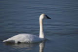 trumpeter_swans