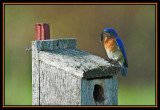 blue_birds_and