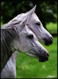 Arabian horses, years 2000-2004