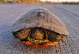 Turtle on Road 35, Willows, California